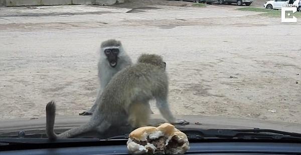 南非一小猴着急偷吃玻璃窗对面汉堡 画面搞笑