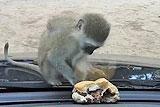 南非猴子欲隔玻璃偷吃汉堡