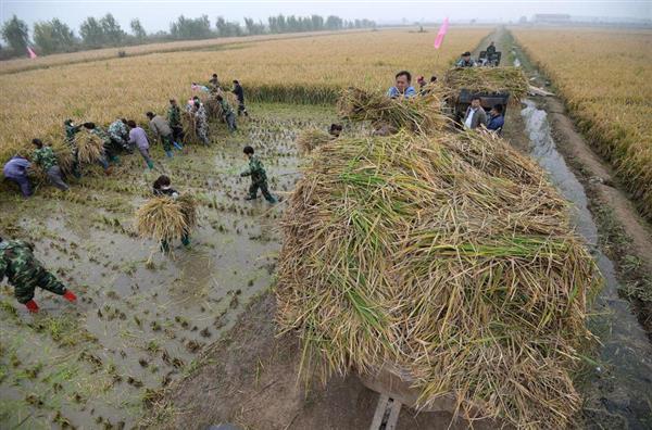 亩产1149公斤!杂交水稻世界新纪录诞生