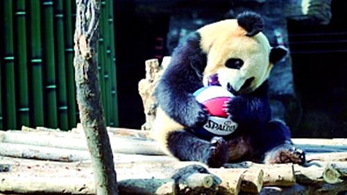 北京大熊猫家族迎新客 游客惊喜连连