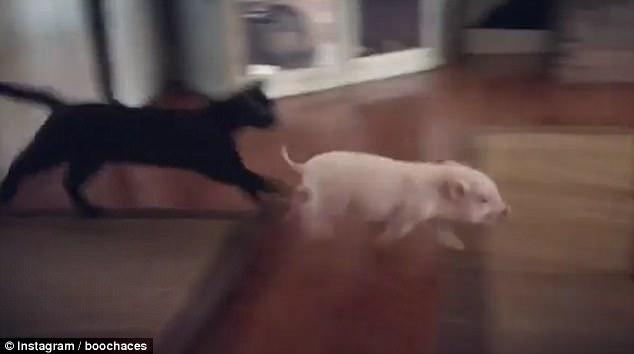 """美可爱小猪与小猫嬉闹玩耍""""秀恩爱"""""""