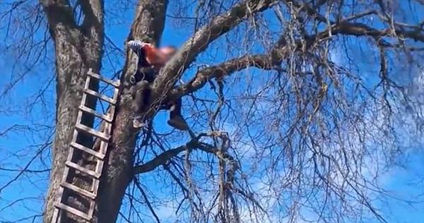 尴尬!园丁锯树时因掉落树枝砸坏长梯被困树上