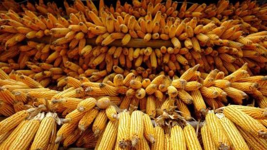 1517.11公斤:中国玉米亩产纪录刷新
