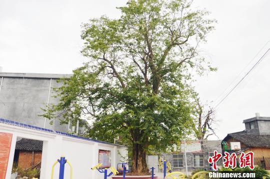 湖南江华发现一株宋朝时期珍稀青檀树,树龄近千岁