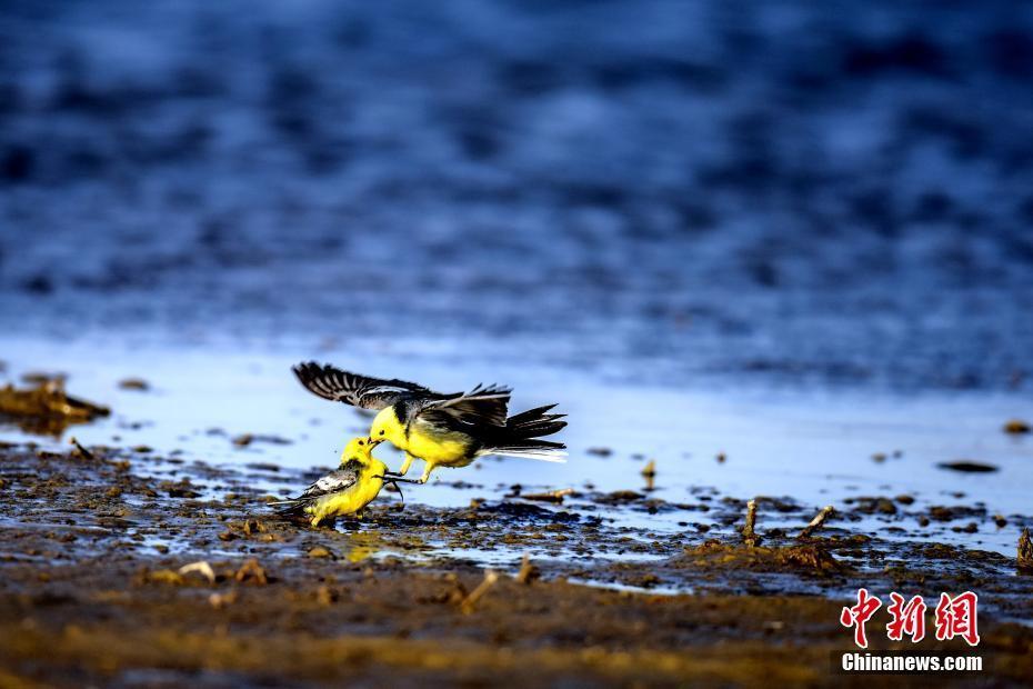 中国最大盐湖吸引众多珍稀野生鸟类栖息过冬