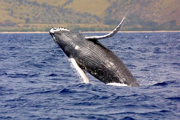 """科学家巧用小型无人机来探测座头鲸的""""口气""""和""""鼻涕"""""""