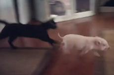 """美小猪与小猫嬉闹玩耍""""秀恩爱"""""""