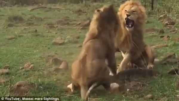 为爱战斗!肯尼亚两雄狮为争夺母狮大打出手
