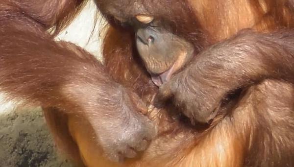 英国一猩猩拿稻草为自己清洁肚脐和耳朵走红网络