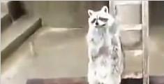 小浣熊抢食不成举手求宠