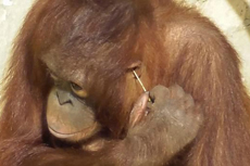 英国一猩猩拿稻草为自己清洁耳朵