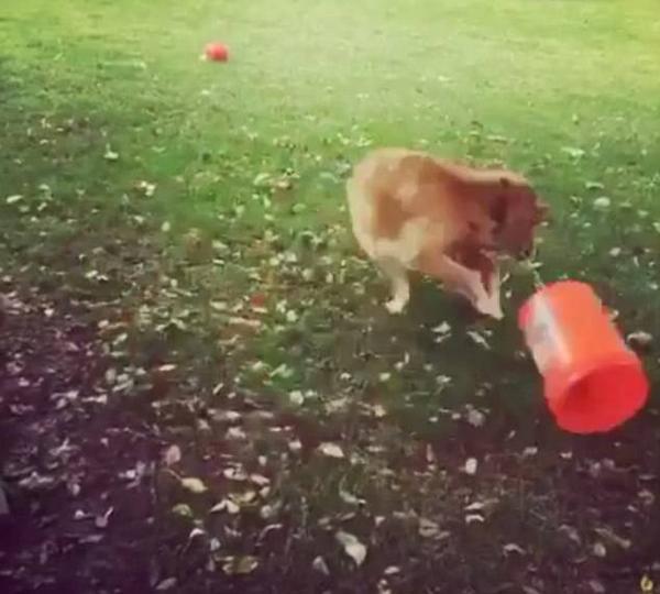 会玩!美黄金猎犬甩桶连转数圈不停歇 逗趣可爱