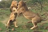 肯尼亚两雄狮为争母狮互殴