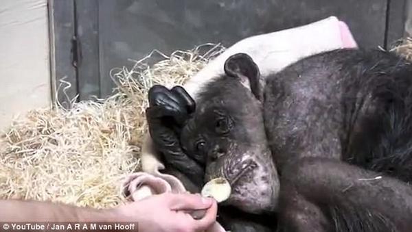 荷兰黑猩猩临终前见到故人展露笑容 温馨感人