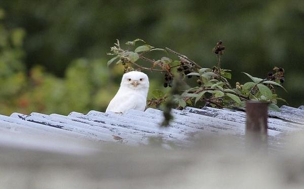 英摄影师拍到罕见纯白色猫头鹰似凡间精灵