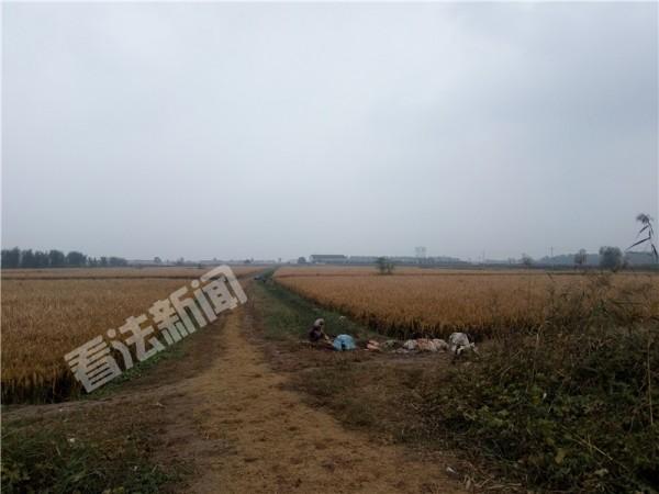 航拍超级杂交水稻收割:稻子晒干后将发给村民食用