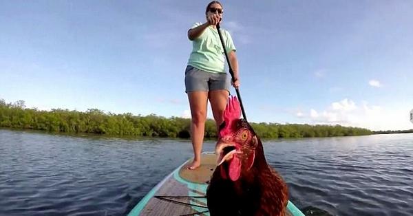 美女子带宠物母鸡一起划桨在水上游玩 画面搞笑