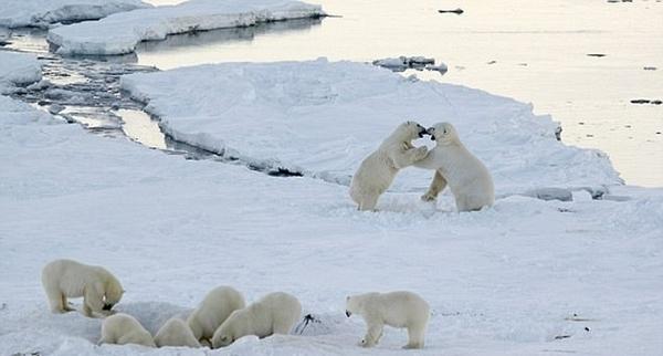 俄村庄遭20只北极熊包围 居民惊慌闭门不出