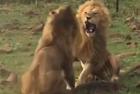 雄狮为争夺母狮大打出手