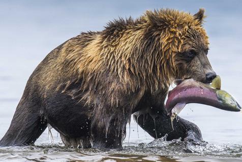 俄棕熊残暴捕食产卵三文鱼 鱼籽四溅