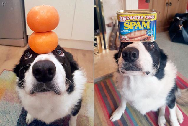 英国牧羊犬头顶物品玩平衡淡定自若