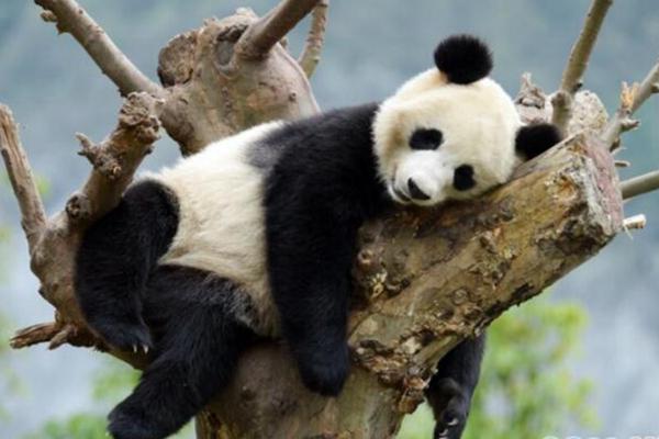 天气转凉 国宝大熊猫享受秋日时光