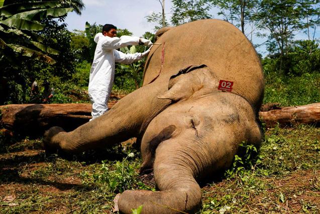 环球图片一周精选 印尼濒危大象触电死亡
