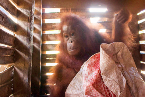红毛猩猩被囚木箱 可怜表情令人心碎