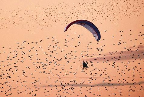 世界滑翔冠军与椋鸟群空中共舞