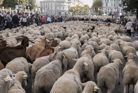 """西班牙游牧节 数百只绵羊""""逛街"""""""