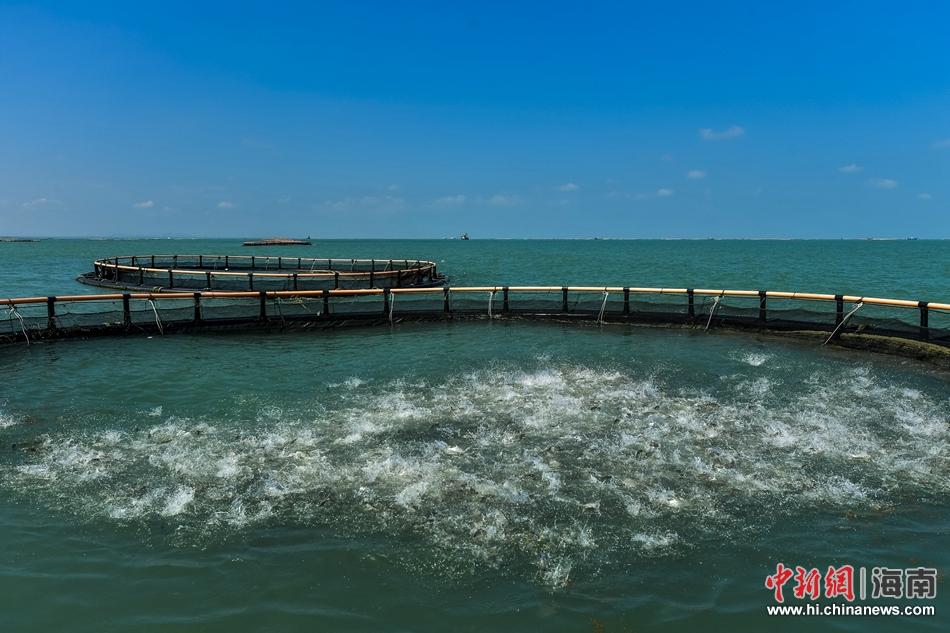 年产值7.2亿元!航拍亚洲最大深水网箱养殖基地