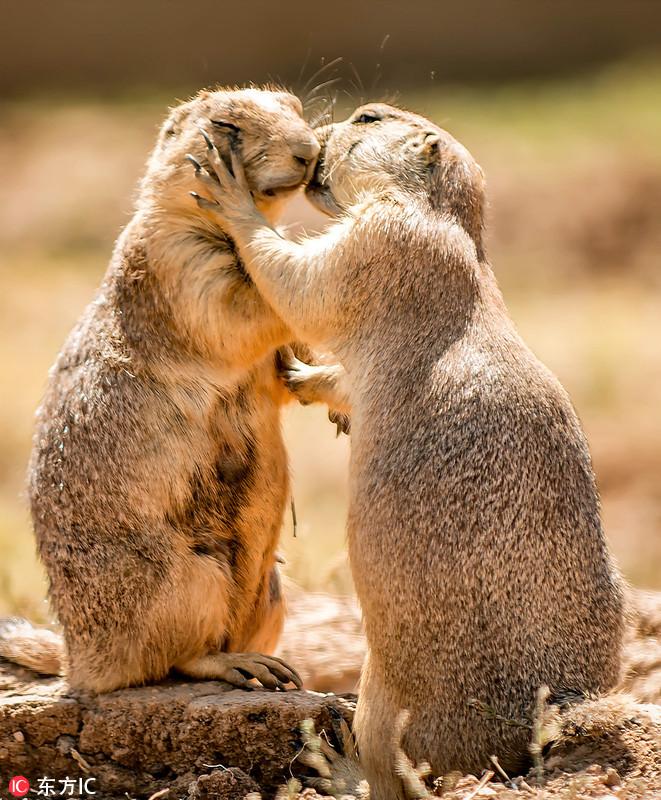 2017年10月24日报道,49岁的野生动物摄影师Peter Comninellis在希腊斯巴达的阿提卡生态动物园游玩时,拍摄到一组非常温馨的照片。照片中两只草原土拨鼠深情地拥吻在一起,如一对陷入热恋中的情侣,大方秀着恩爱。Peter ComninellisMercury Press/东方IC