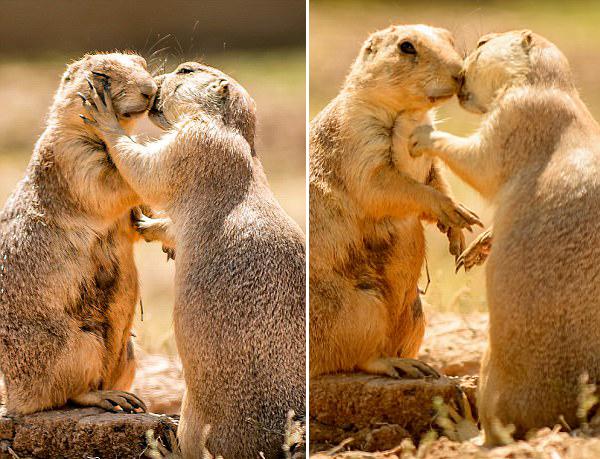 超甜蜜!希腊动物园土拨鼠夫妻拥吻秀恩爱