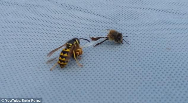 画面惊奇!蜜蜂被黄蜂分尸后仍挣扎抵抗