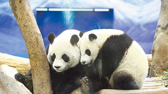 台北巿立动物园架电网 团团圆圆都中招误触电