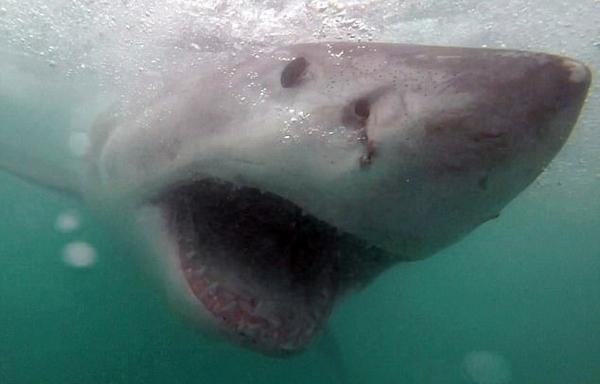 南非男子近距离拍到大白鲨张开血盆大口