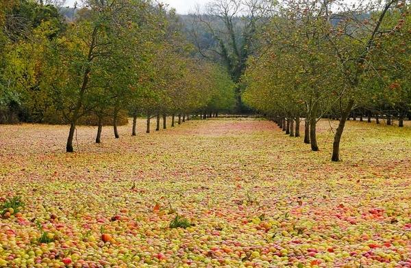 """爱尔兰果园苹果被吹落满地成""""苹果地毯""""奇观"""