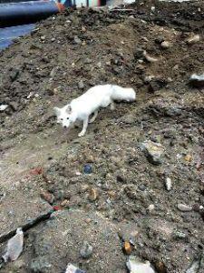 白狐闯入工地 主人:3500元买的 和狗打架被吓跑了