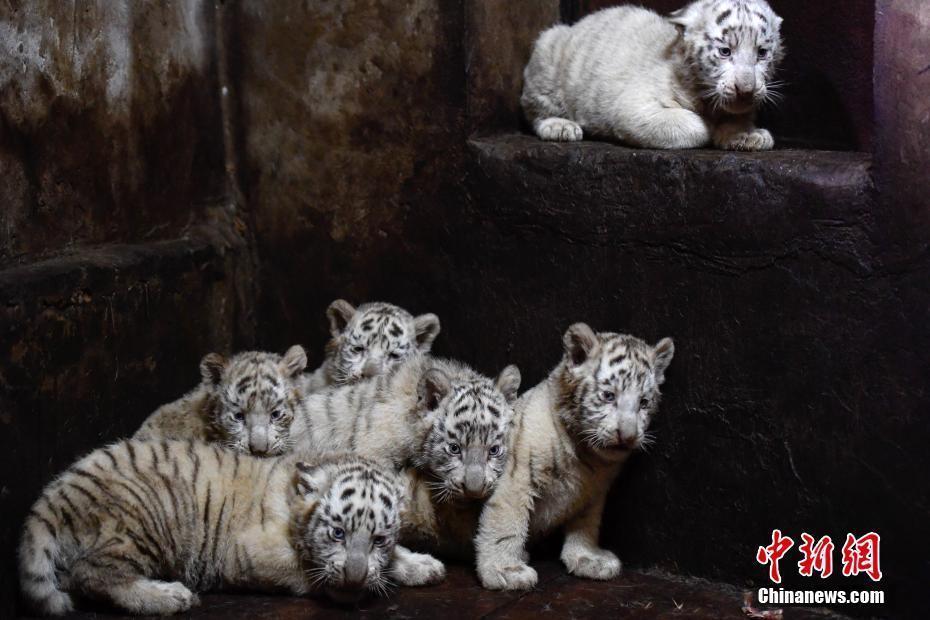媒体:云南野生动物园白虎妈妈破纪录产下6胞胎