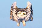 猫头鹰从翅膀中窥视镜头