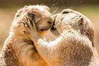 土拨鼠夫妻拥吻秀恩爱
