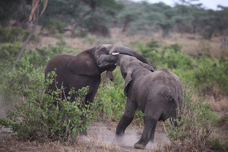 在塞伦盖蒂国家公园里,摄影师捕捉到了两只小象争斗的一幕:争强好胜的