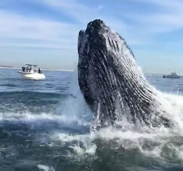 震撼!巨型座头鲸跃出水面与船只咫尺之隔
