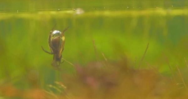 奇妙!实拍英国水蜘蛛收集空气筑水下蛛巢