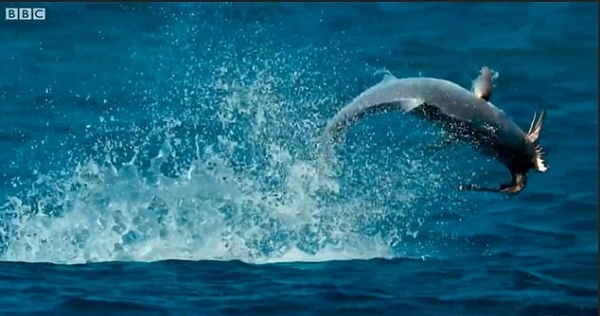 难得一见!鲹鱼跳出水面捕食燕鸥