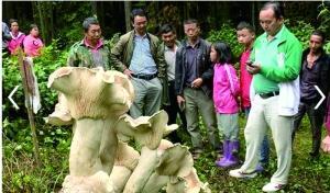 蘑菇王被收制标本 守护其4天的老人失落:有感情了