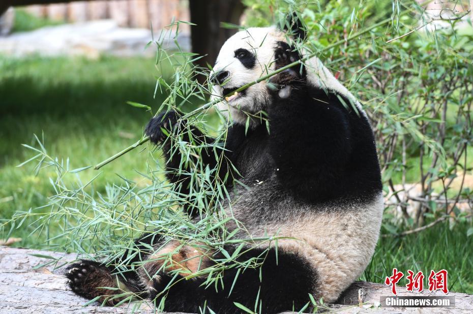 济南大熊猫家族再添新成员