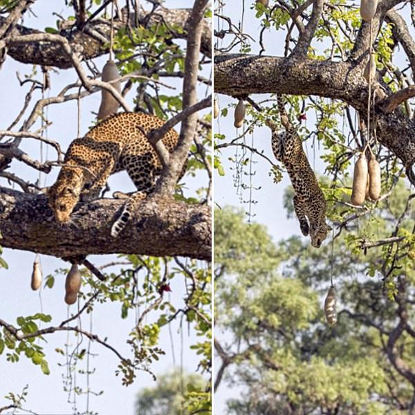 惊心一幕!花豹从树上跃下捕捉黑斑羚