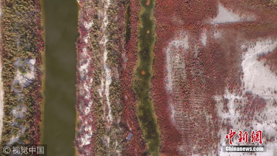 近日,山西运城百里盐湖,深秋季节,这里的植被随着天气变冷,变成红色。每年霜降节气过后,有着132平方公里的古老盐湖,大部分植被像枫叶变红一样,由绿变黄,渐粉,转红,最后成血红色,像湖面上铺了一层红绒毯,这种红染盐湖的壮观场面成为盐湖自然景观一大特色。 图片来源:视觉中国