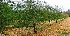 爱尔兰一阵飓风吹过 掉落苹果铺满果园